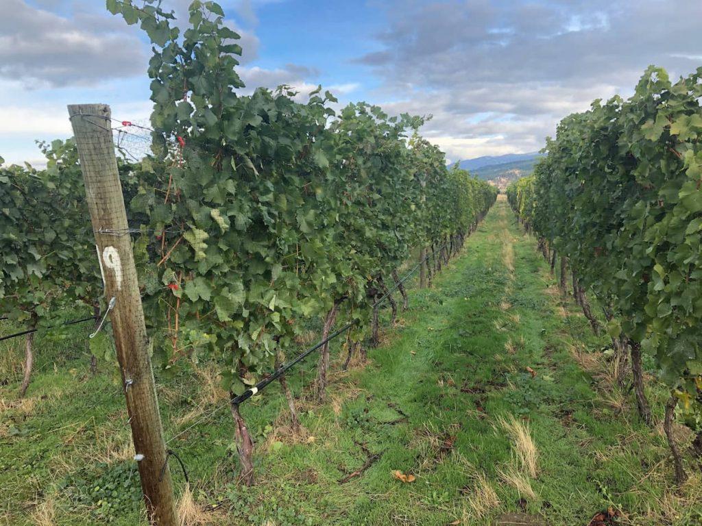 leased vineyard row